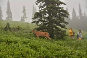 Black-tailed deer-9297