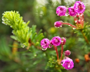 Pink Montain Heather-9293-1