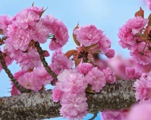 Orencoの八重桜-8006-8x10
