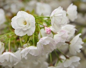 Rose Gardenの八重桜-7853