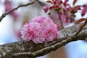 Orencoの八重桜-7996