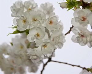 Rose Gardenの八重桜-7843