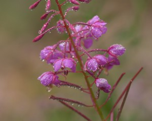 Fire Weed-4081