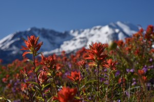 paintbrush--penstemon-at-loowit-viewpoint-5658_27298775613_o