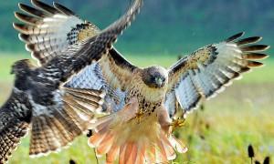 eagle-battle